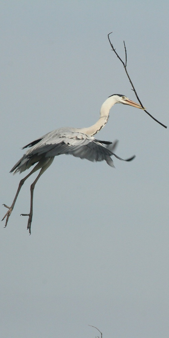 Amazing capture of a heron carrying nesting material.