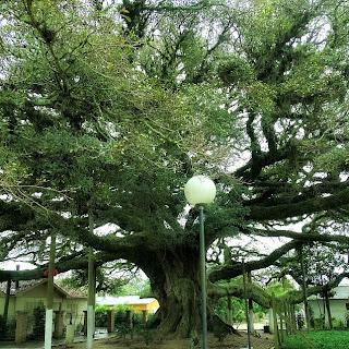 Figueira Centenária de Arambaré