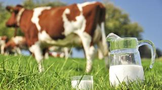 kelenjar susu pada simpulan masa kebuntingan  Kabar Terbaru- CARA MEMBUAT KOLOSTRUM UNTUK SAPI