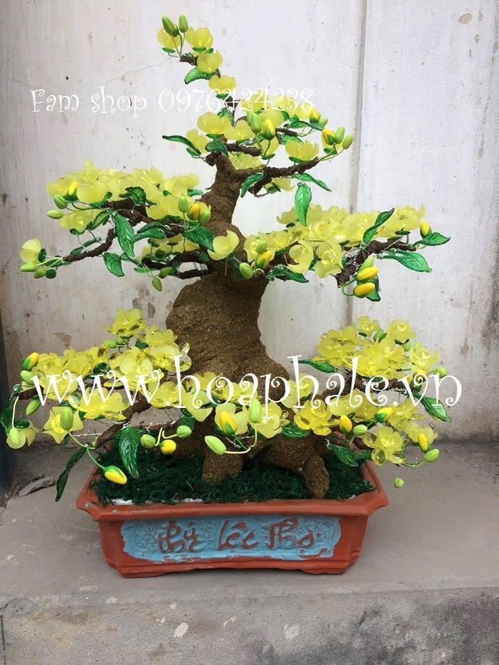 Goc bonsai mai dao o Dien Bien Phu
