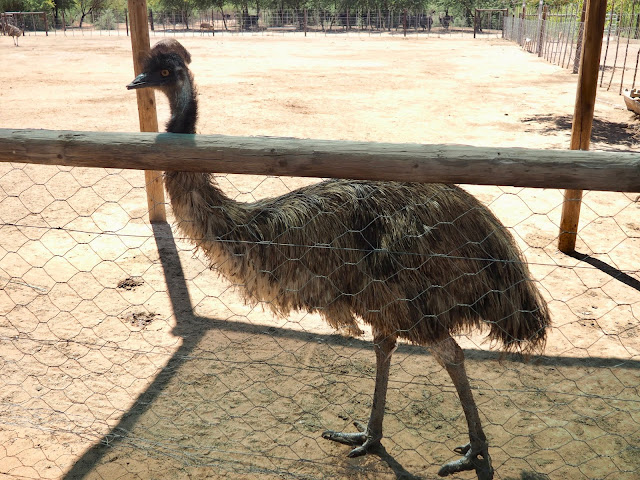 Emu at Safari Ostrich Farm, Oudtshoorn, South Africa