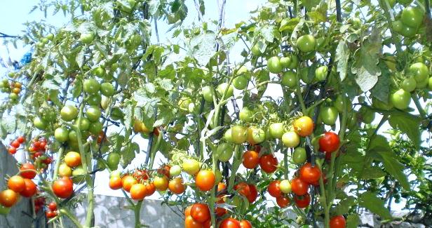 Peluang Usaha Budidaya Tomat Rampai