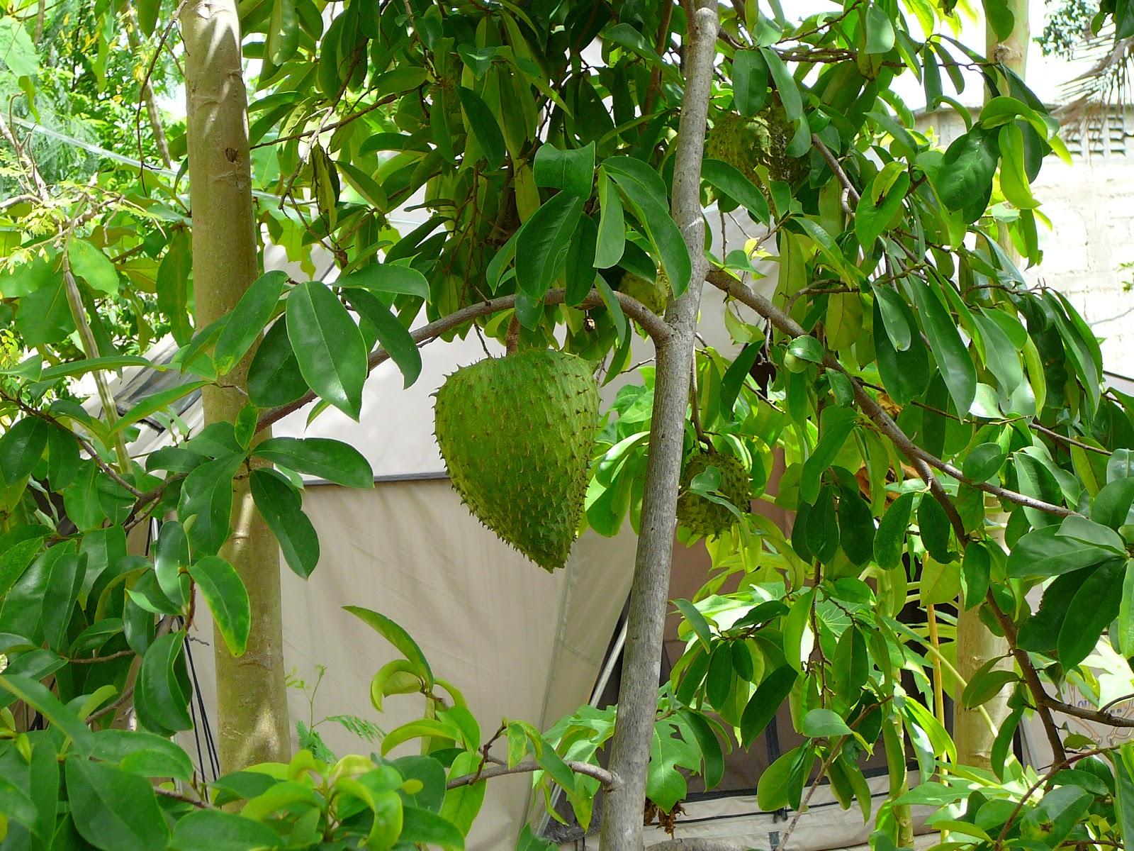 Guyabano Info  |Guyabano Tree