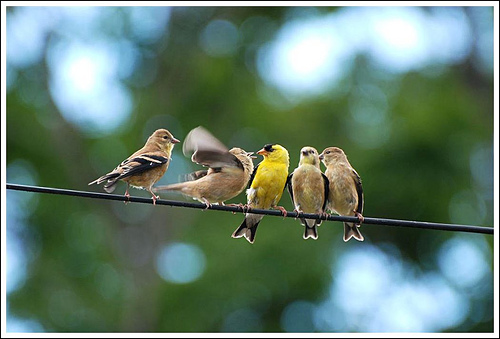 Wild Birds Unlimited: Photo Share: Baby goldfinch pictures