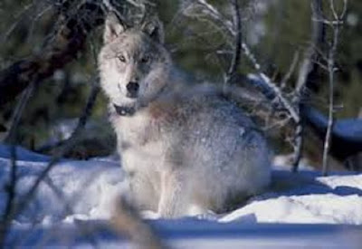 Serigala Canis lupus - berbagaireviews.com