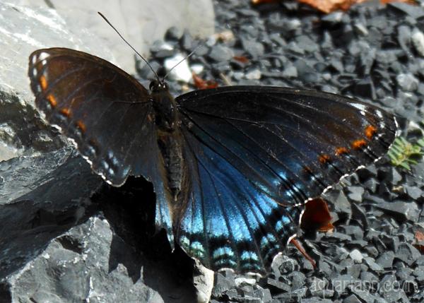 Spicebush Swallowtail Butterfly Photo by Aquariann