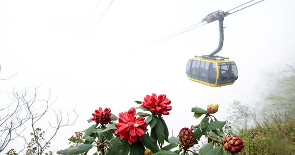 Cáp treo phục vụ tham quan lễ hội hoa đỗ quyên tại Sapa