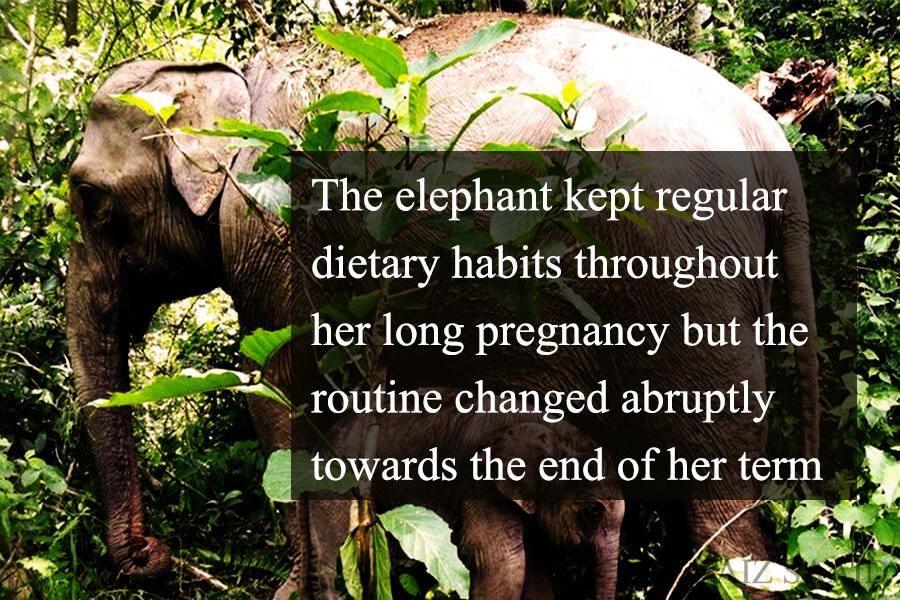 gajah masa nak lahirkan anak