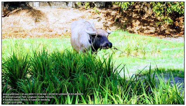 gambar seekor kerbau di sawah padi