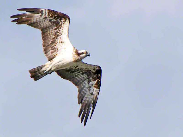 Pandion haliaetus, bird flying in pale skies