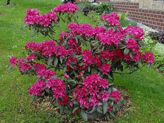 Цветок Тамары - рододендрон