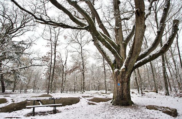 Chêne de Murger, forêt de Fontainebleau.