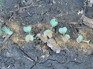 Всходы капусты для защиты от крестоцветной блошки посыпаю табачной пылью