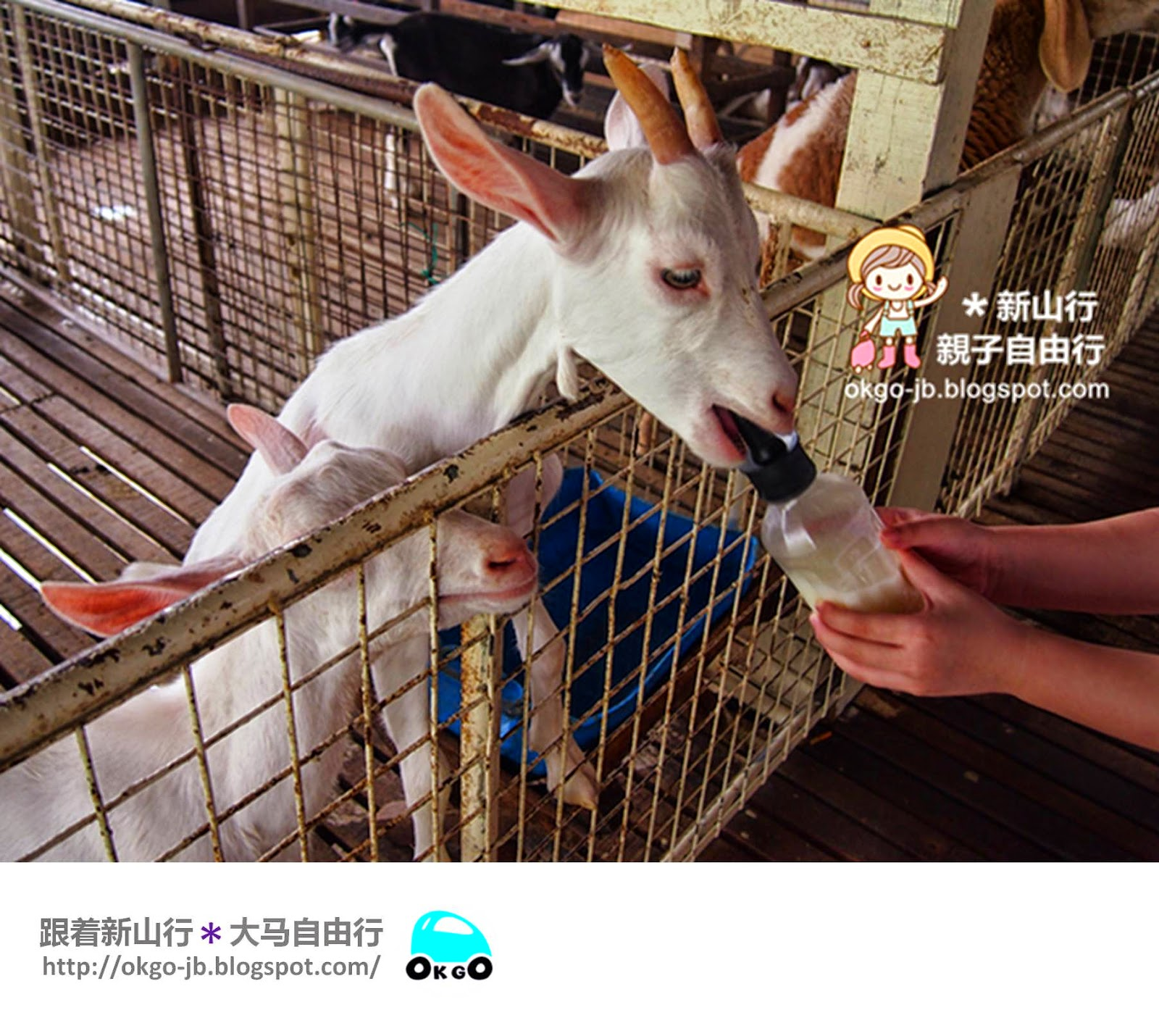 Kluang UK Farm goat feeding