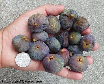 Mignon fig