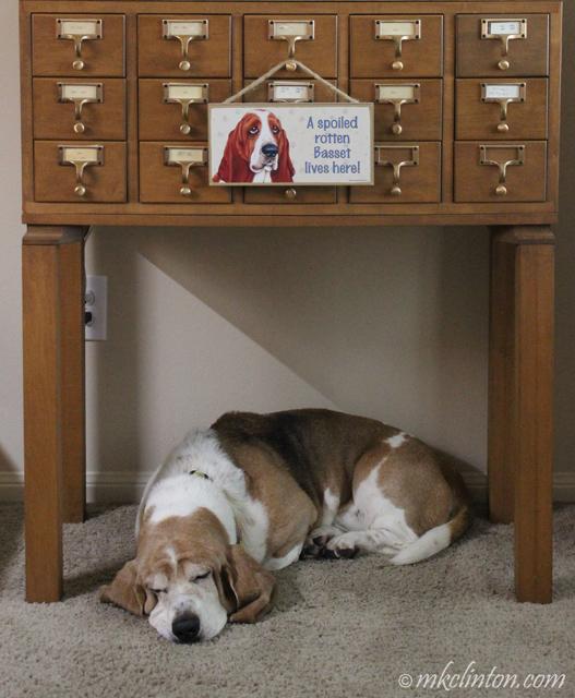 basset hound asleep under a card catalogue