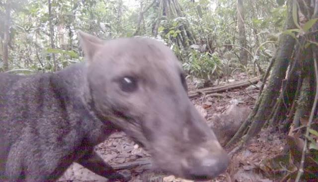 Ο Σκύλος της ζούγκλας: Το πιο σπάνιο ζώο στον πλανήτη (βίντεο)