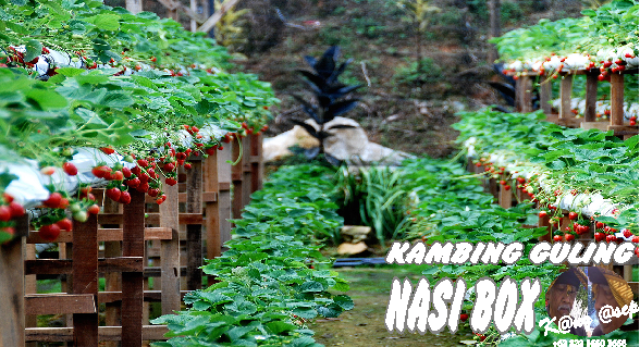 Kebun Petik Strawberry Ciwidey