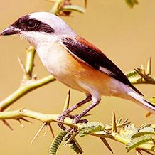 Suara Belalang Sebagai Masteran Burung Cendet