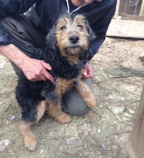 cachorro cruce yorkshire