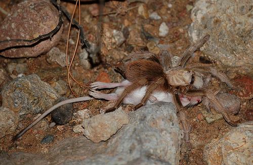 tarantual eats a mouse