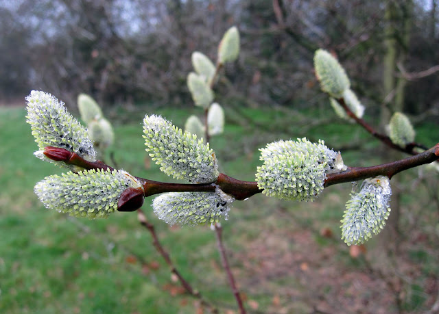 Pussy Willow catkins in Jubilee Country Park, 15 March 2011.