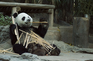 Panda Bear Making a Mess