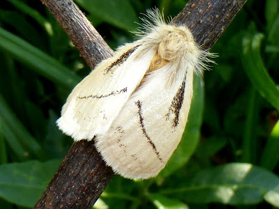 Phiala sp. male Malawi