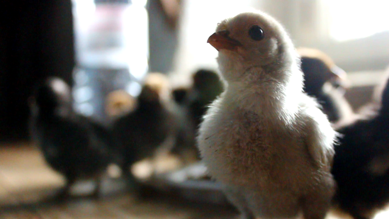 raising chicks in an organic food forest