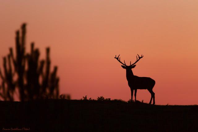 Ciervo ibérico crepuscular