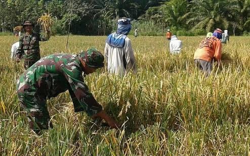 """Saat Panen Padi, Poktan """"Sepakat 2"""" Kelurahan Pinang Mancung Mendapat Pendampingan Dari Babinsa"""