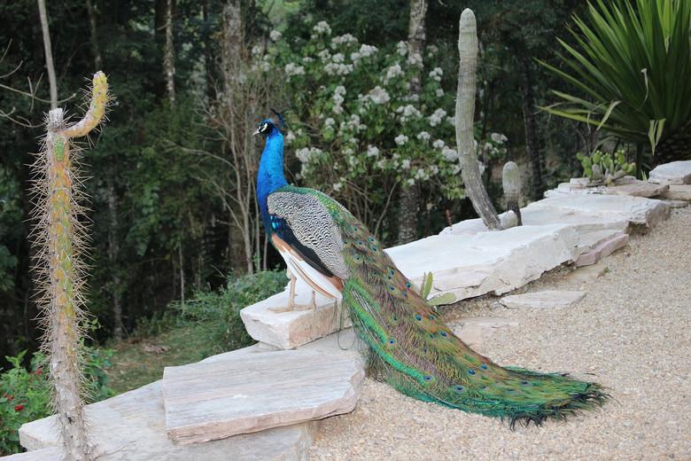 #chupacabra #Peacocks #Puerto Rico