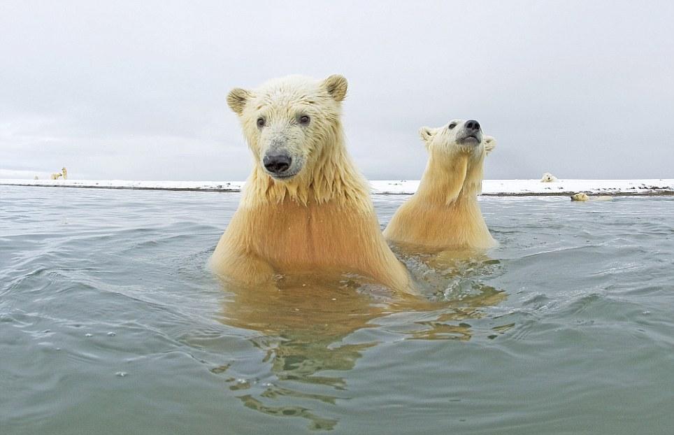 الدببة القطبية 0_94f0b_77bcaa12_ori