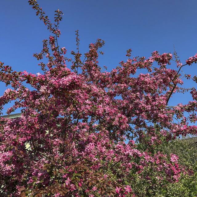 blommandeträd