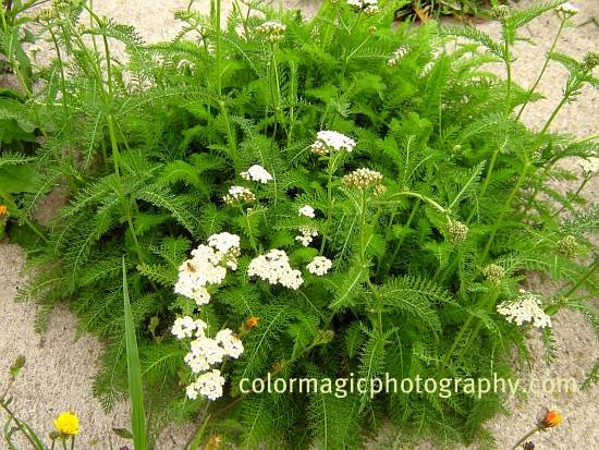 Yarrow-leaves and flowers