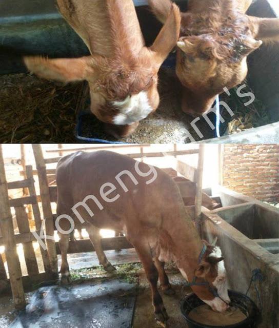 Peternakan kambing dan sapi