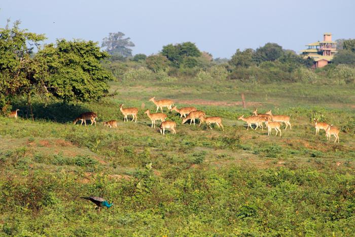 Rehe und Pfau im Udawalawe Nationalpark, Sri Lanka