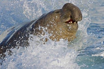 820+ Gambar Hewan Gajah Laut HD