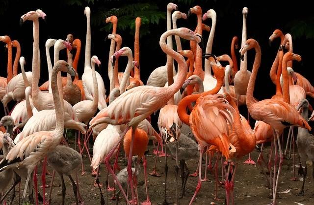 Apa Fungsi Warna Merah Bulu Flamingo ? Seperti Wanita Ternyata
