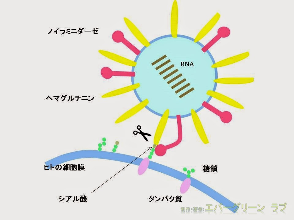 イラスト タミフル オセルタミビル リレンザ イナビル 抗インフルエンザウイルス薬 図 感染 増殖 ノイラミニダーゼとヘマグルチニン シアル酸 糖鎖 細胞膜 RNA