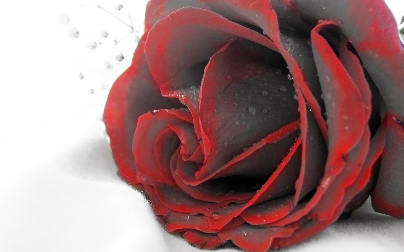 Maroon-rose-with-water-drops-white-background-HD-Template-image-free-download.jpg