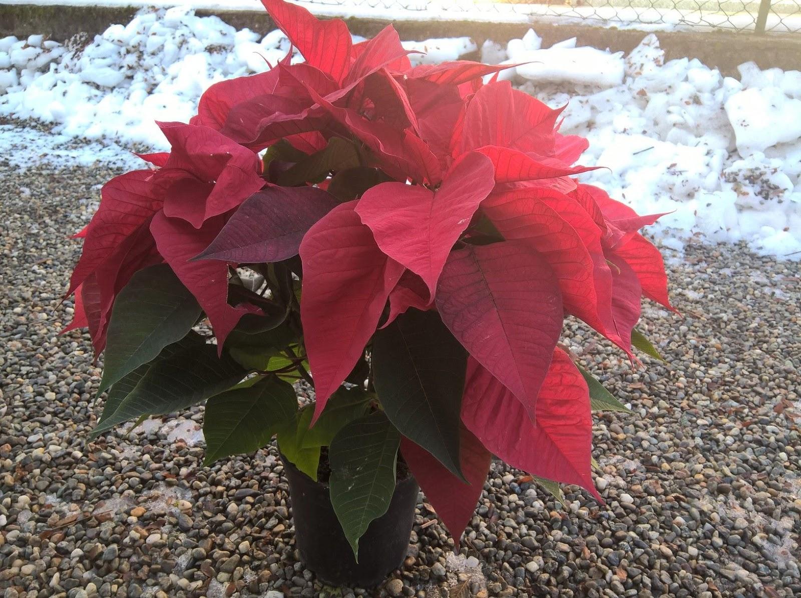 Talea Stella Di Natale.Stella Di Natale Euphorbia Pulcherrima Crescita E Sviluppo Il