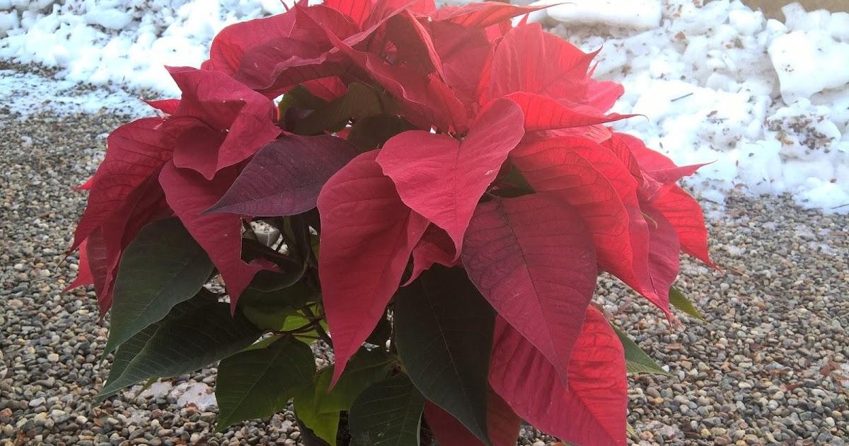 Airc Stella Di Natale.Il Gusto Della Natura Stella Di Natale Euphorbia Pulcherrima Crescita E Sviluppo