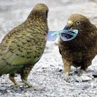 Burung Kea Endemik Selandia Baru