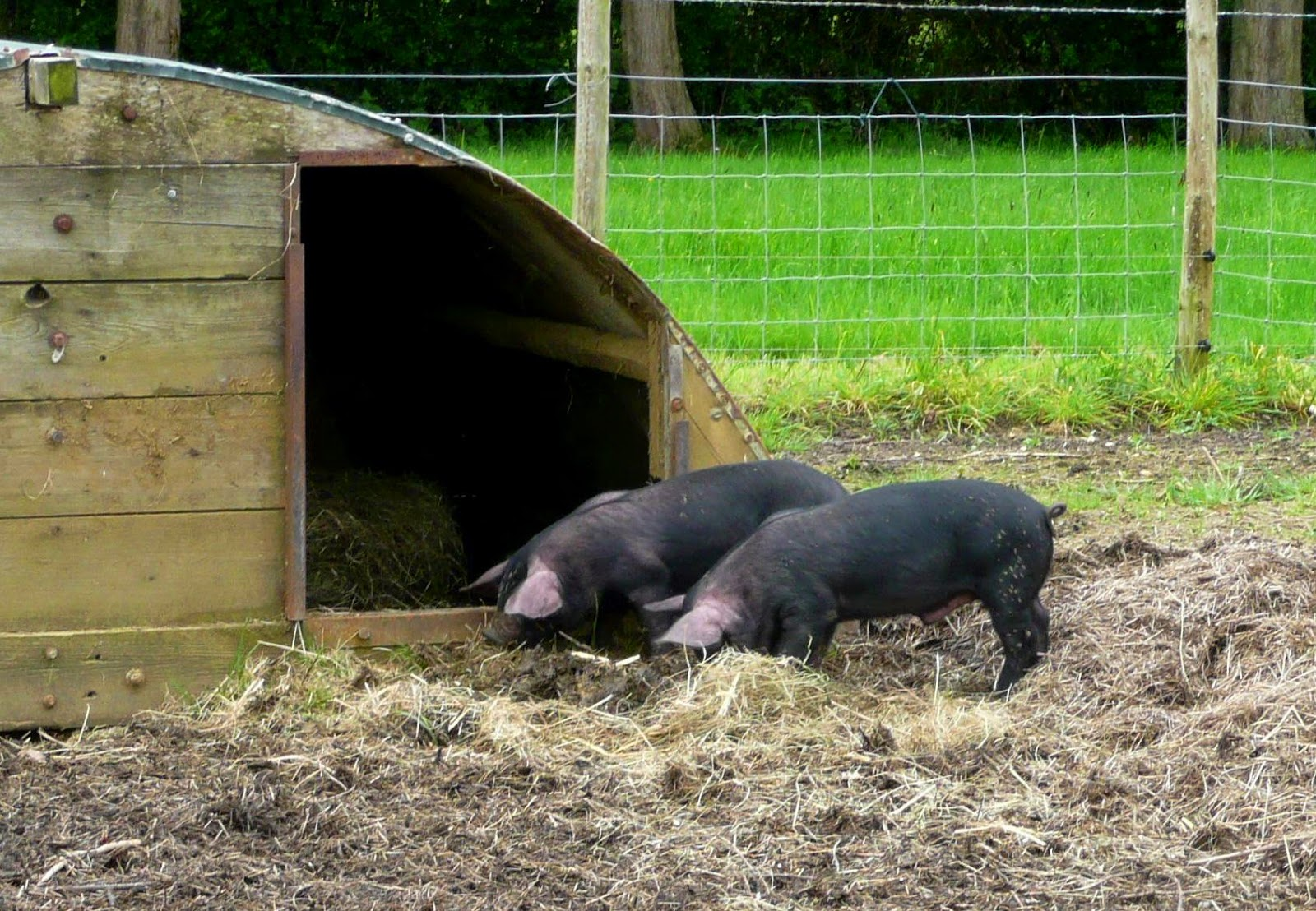 image: new piglets on the HenSafe smallholding