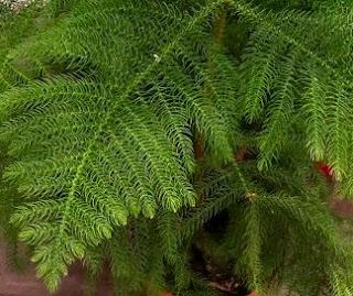 Stuegran, Araucaria heterophylla