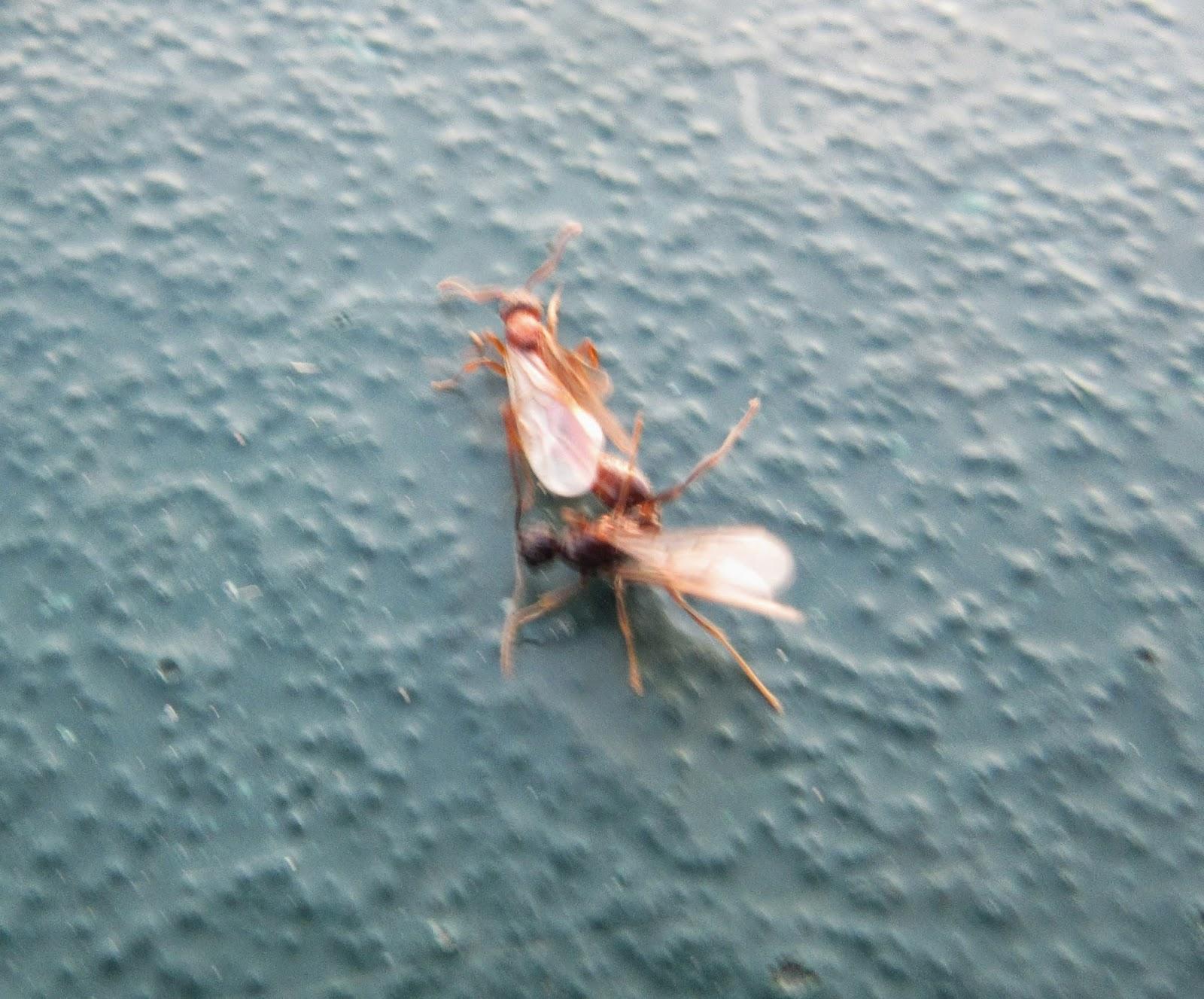 Flying Ants: Flying Ants Bite Uk