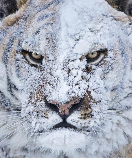 Não fique alegre se este tigre sorrir para você