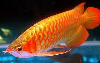 Jenis Ikan Arwana yang Banyak Dipelihara