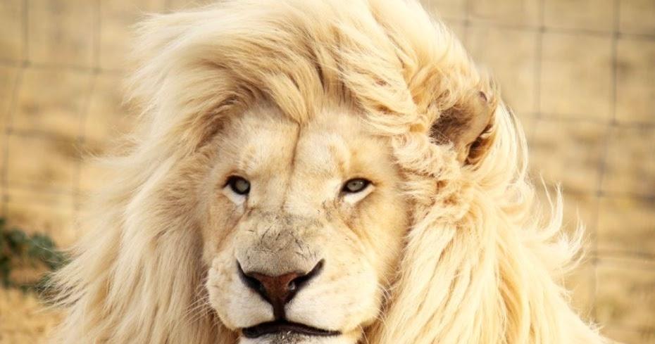 lion video Laura